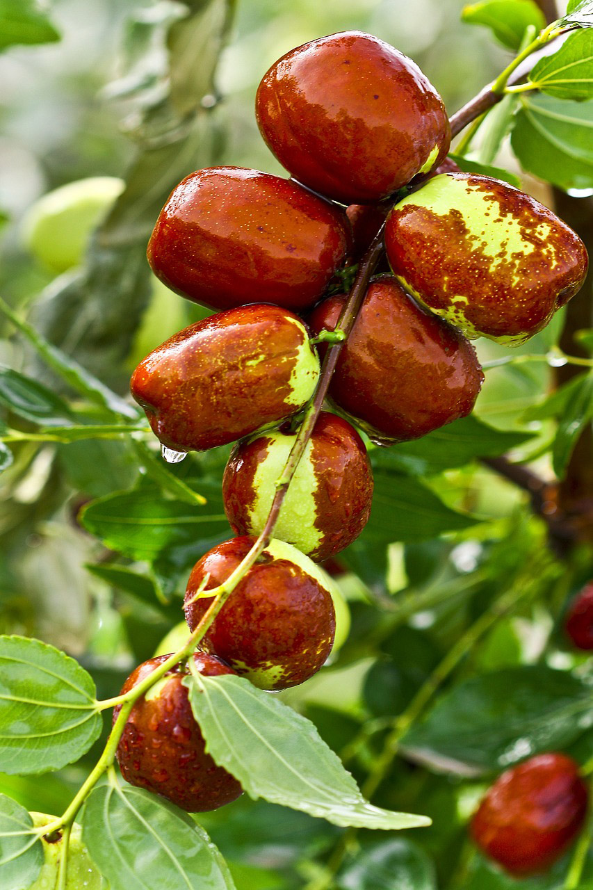 The Jujube Tree