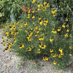 The Mexican Hat Plant