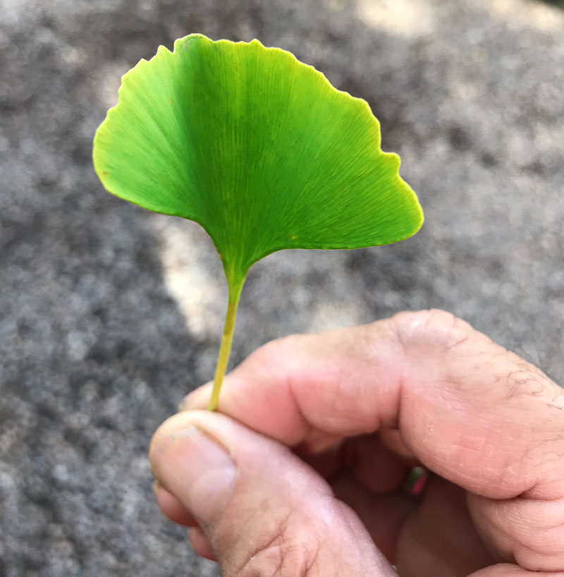 Ginkgo Biloba tree information