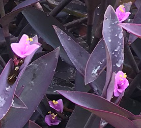 The Purple Heart Plant Succulent Plant For Groundcover Drought Tolerant