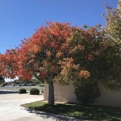 Texas Red Oak Information