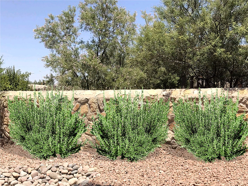 Rosemary for Landscaping Purposes