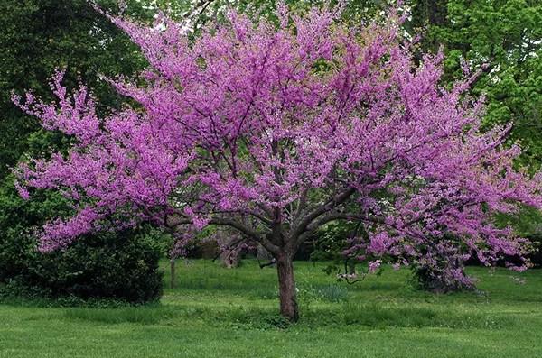 The Redbud Trees Dark Purple Bloom Guzmansgreenhouse Com