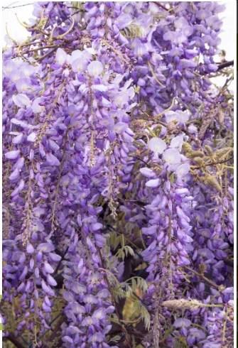 The wisteria vine