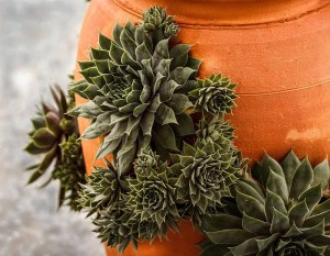 Types of Succulent Pictures
