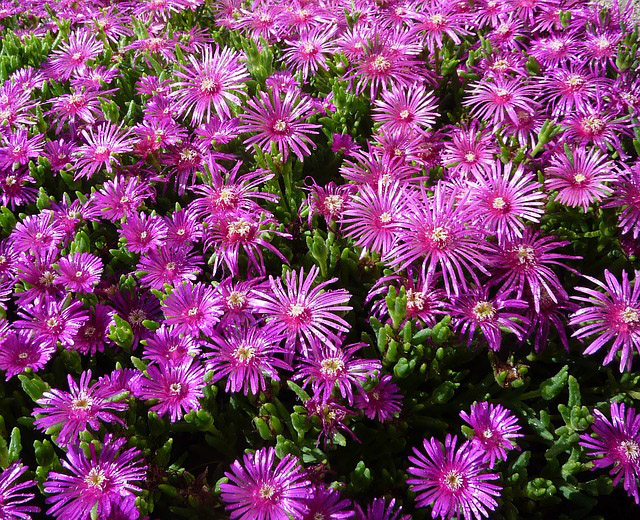 Types of Ice Plants