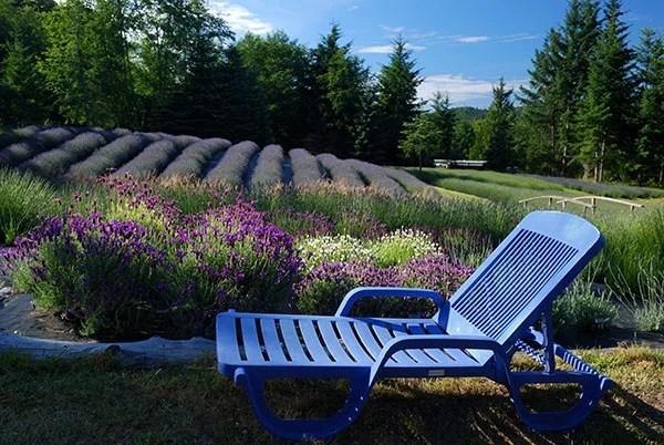 Lavender Plants in The Garden