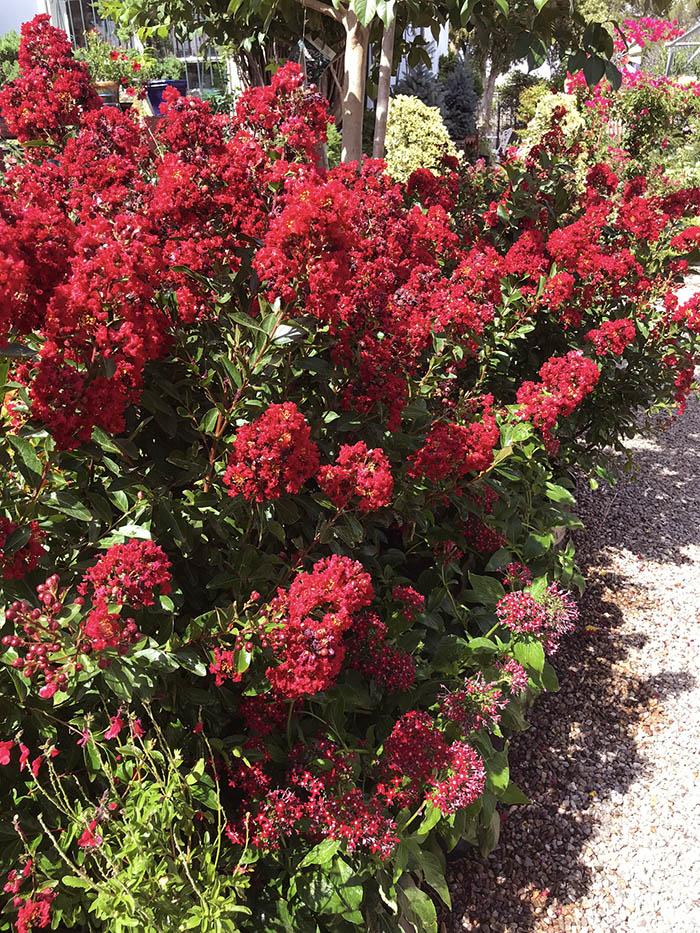 Red Crape Myrtles