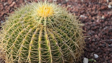 Golden barrel cactus plants