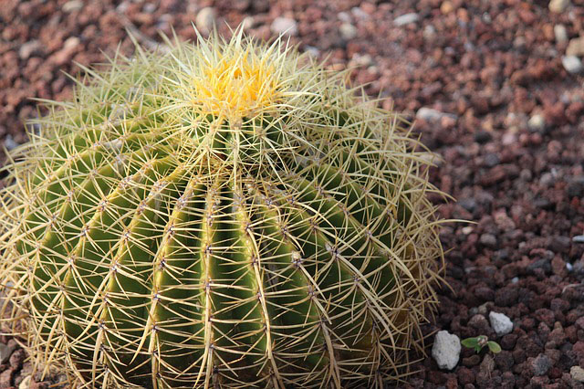 Golden barrel cactus plants