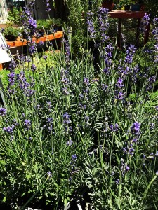 Plants that attract bees - The Lavender Plants