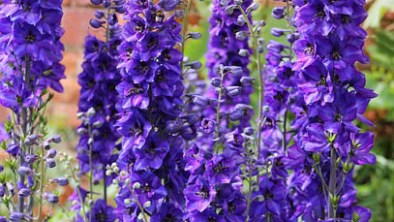 Delphinium Plant