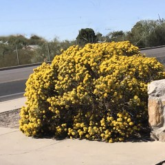 turpentine-bush