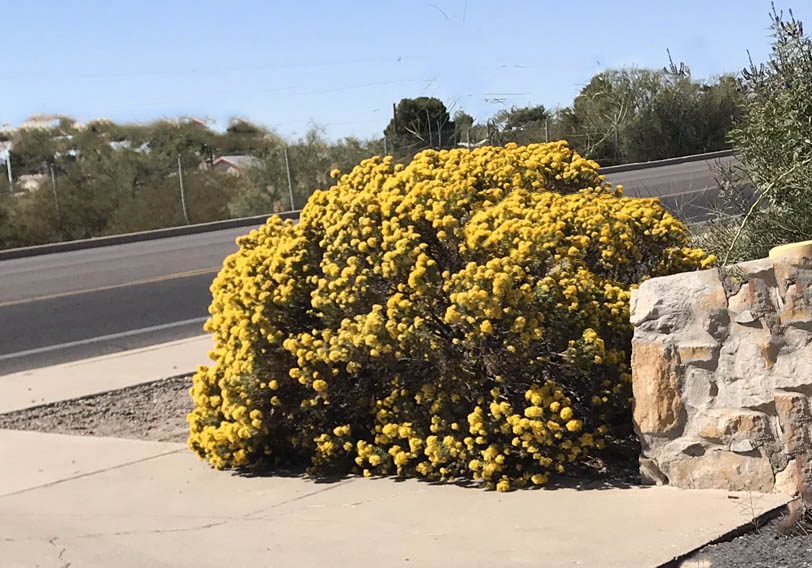 turpentine-bush