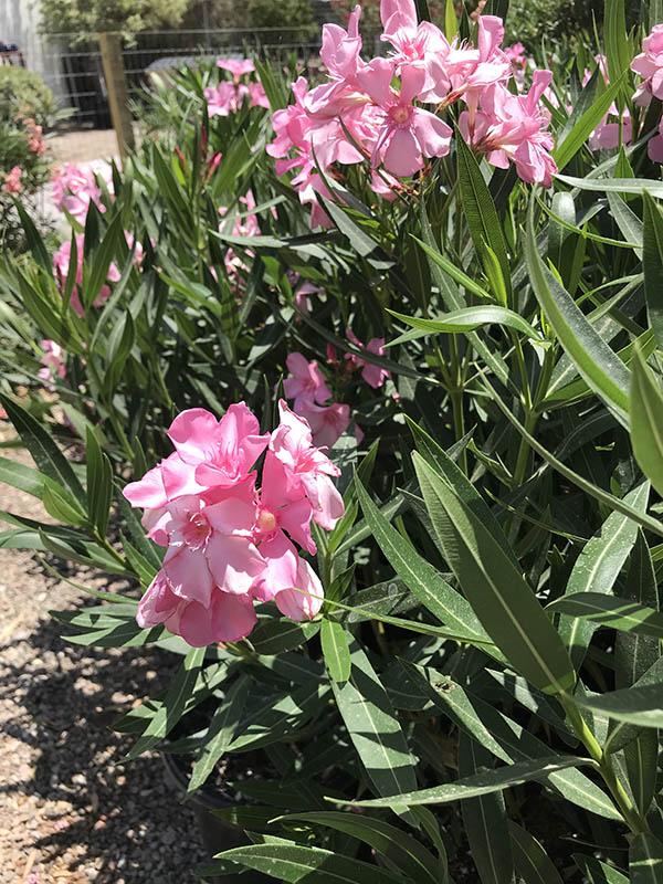 Oleander Plant Care