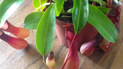 The Pitcher Plant Care