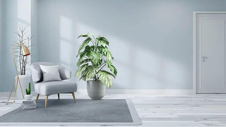 Monstera plant care light