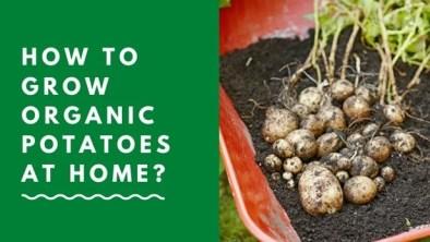 How to grow organic potatoes