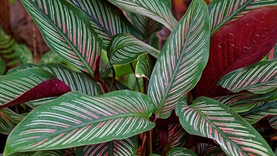 Calathea indoor plants