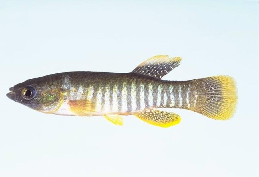 #Increible Un pez toma prestados genes de sus parientes para sobrevivir a la #contaminación