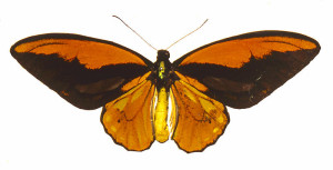 Wallace's golden birdwing butterfly