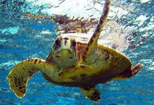 fiji-turtle