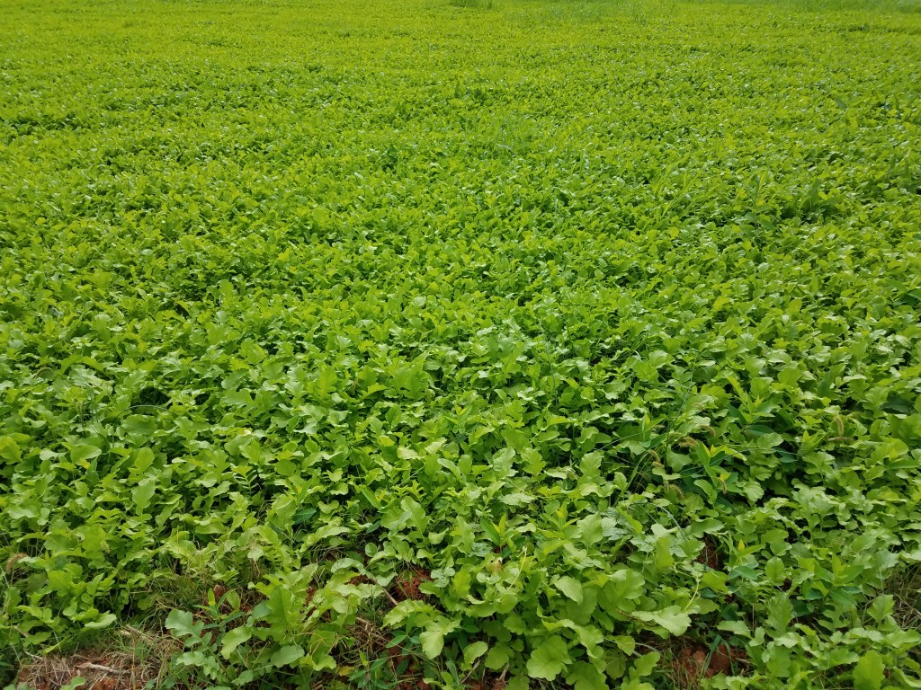 Cover crop closeup