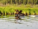 moose Prince-Albert-Nationalpark