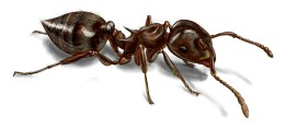 acrobat-ant-illustration_576x262