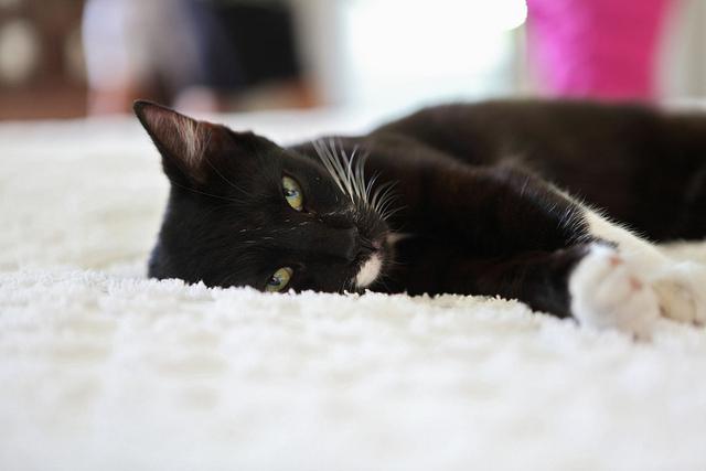 gwendalperrin.net lobby félin hemingway home cats chat key west (3)