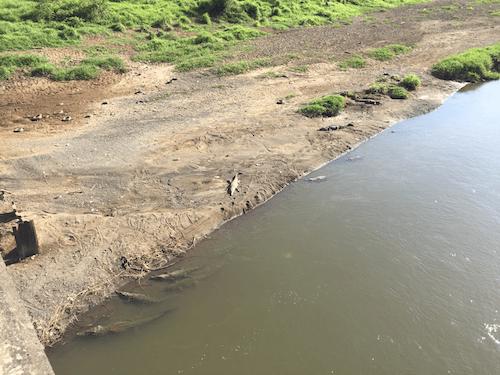Crocodiles on the highway to Jacó.