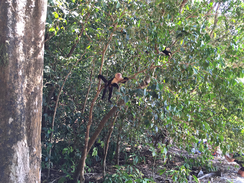 capuchin monkey in a tree