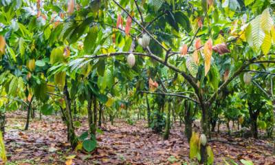 Fire Guts 200 Hectares Of Cocoa Plantations in Ekiti