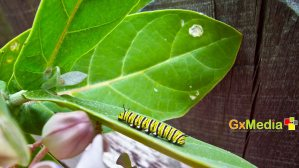 Caterpillar on the prowl...