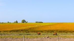 Sheep in the golden fields...