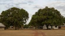 Huge mango trees