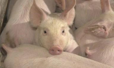Pigs-652x391
