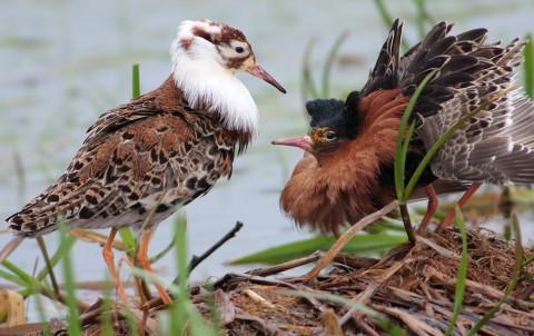 FugleBrushahanerWikipediaCommons