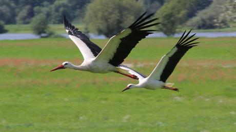 Storke_AlfBlume