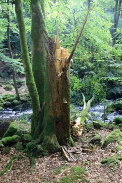 Skov-dodtra2