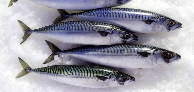 Mackerel healthy