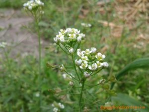 Pásztortáska virága