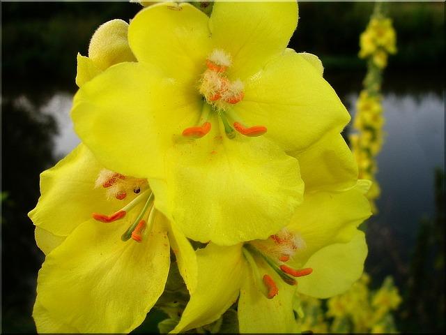 gyógynövények hatóanyagai örfarkkóró virága, szaponin, gyógynövények hatóanyagai