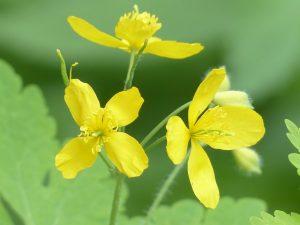 Vérehulló fecskefű virága