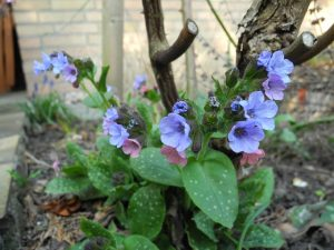 Tüdőfű virágai a jellegzetes pettyes levelekkel