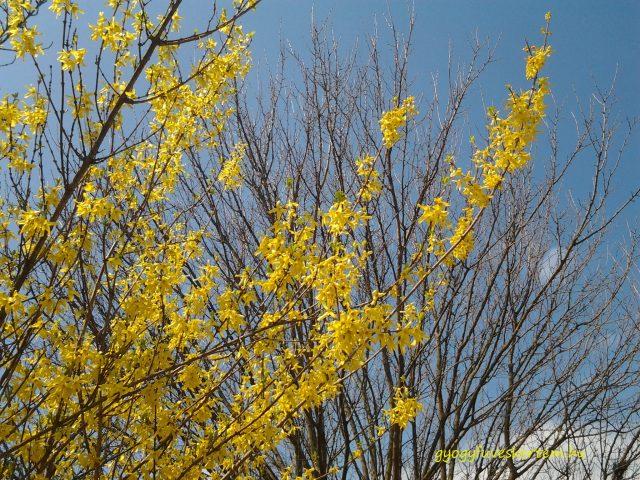 Aranyeső, aranyvessző, aranyfa, aranycserje