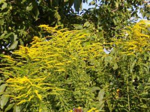 Aranyvessző virágzáskor, gyógyfüves kertem