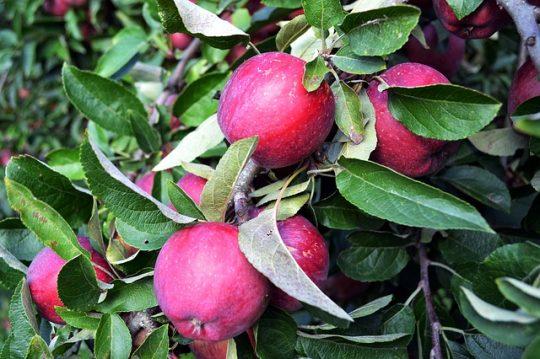 Nemes alma