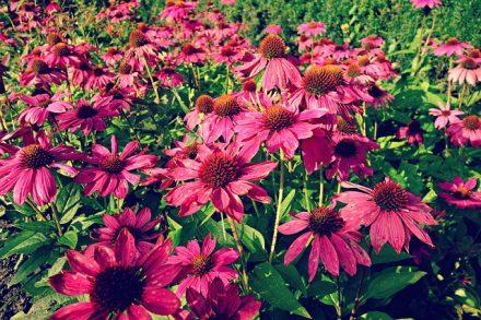 Kasvirág, bíbor kasvirág, keskenylevelű kasvirág, immunerősítő