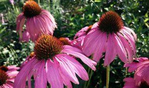 Kasvirág, bíbor kasvirág, immunerősítő, megfázás, influenza